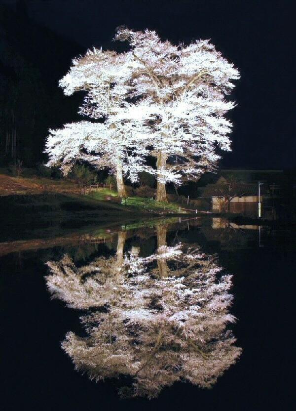 nawashiro cherry blossoms